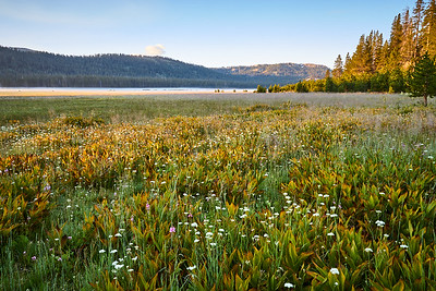 Wildflowers in Lacey Meadow