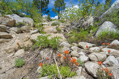 The first of the Indian Paintbrush starting to bloom on the Ophir Creek Trail