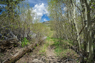 A small stand of aspens near a meadow on the Ophir Creek Trail to Price Lake