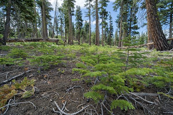 Saplings growing along the Tahoe Rim Trail.