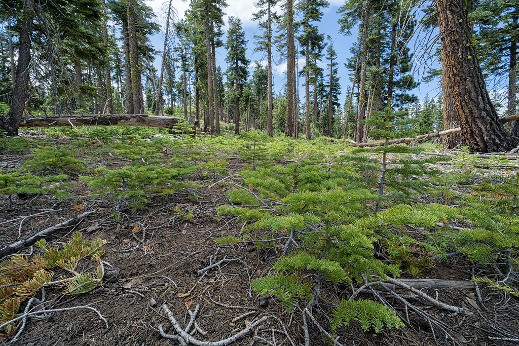 Saplings growing along the Tahoe Rim Trail.