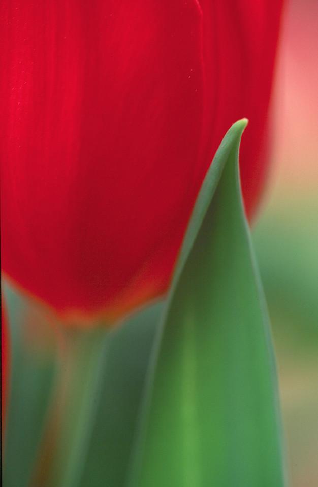 Red Tulip Vertical