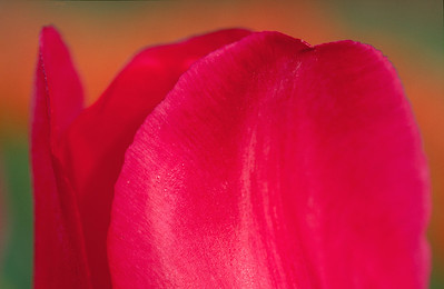 Red Tulip Horizontal