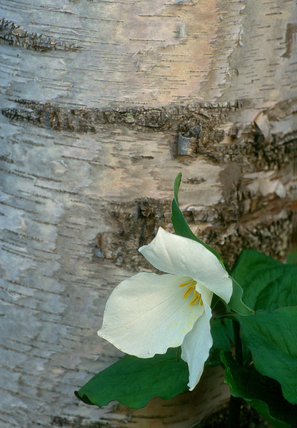 Trillium and Birch