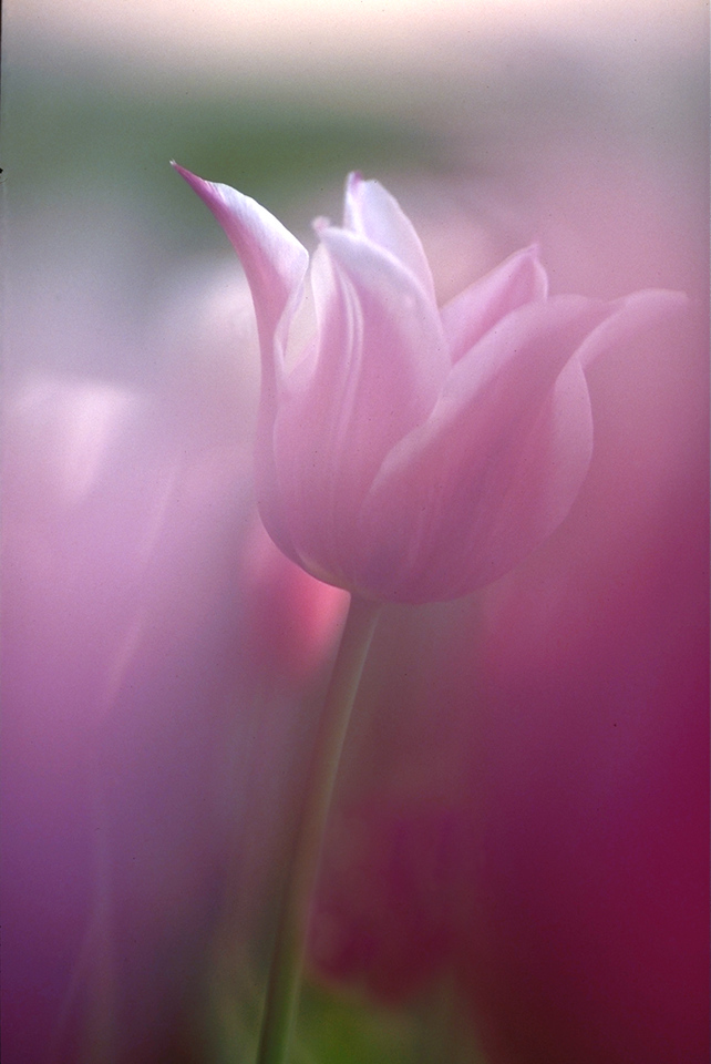 Tulip and Light