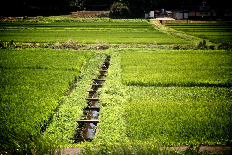 Rice field from the Narita Express Train.