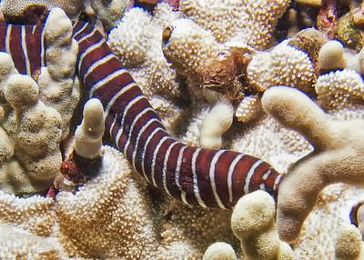 A zebra moray (Gymnomuraena zebra), shyly peeking over the coral...