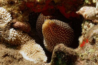 Whitemouth moray (Gymnothorax meleagris)