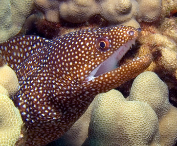 Whitemouth moray (Gymnothorax meleagris)