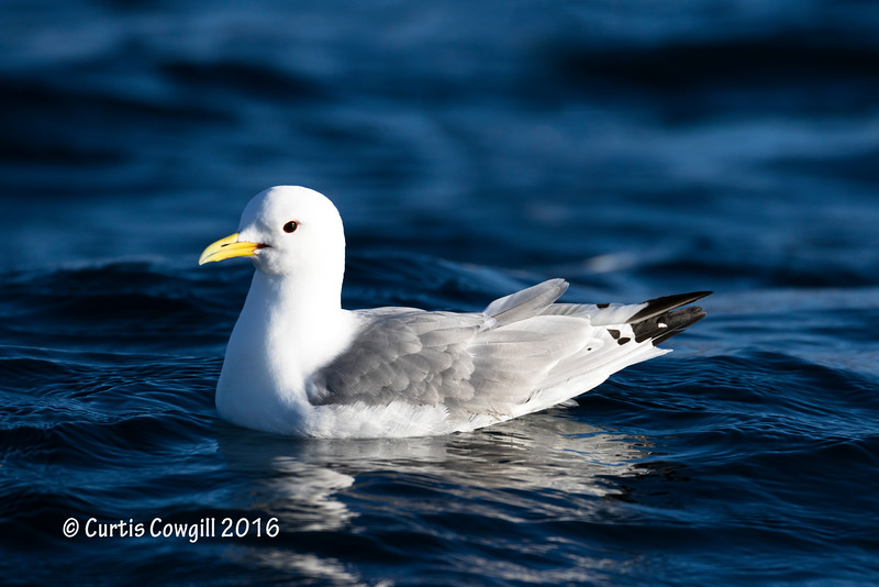 Black Leg Kittiwake
