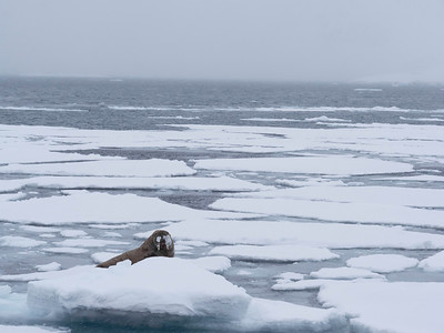 Walrus and polar bear are the two major animals present in the winter
