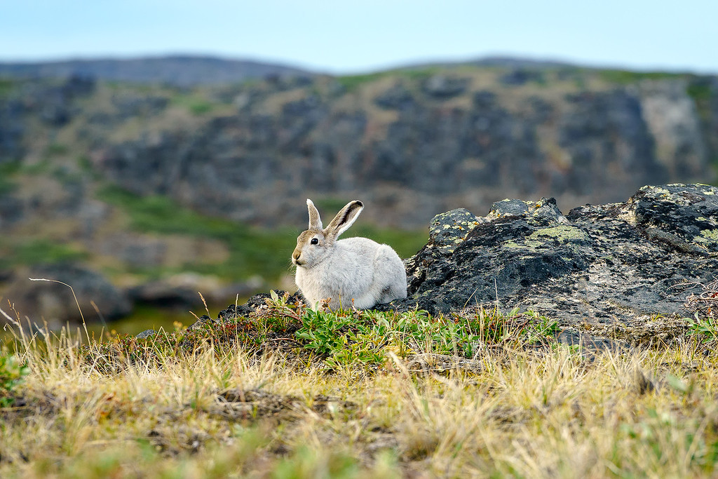 Rabbit Arctic Circle Trail