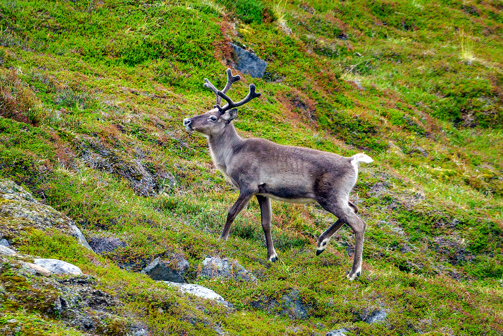 Arctic Circle Trail Reindeer
