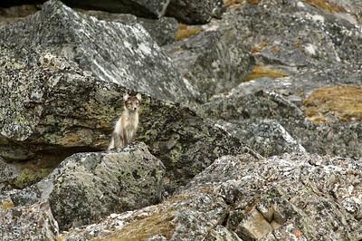 Arctic fox, Svalbard.