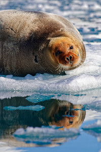 Resting bearded seal.