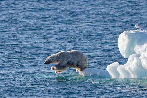 Male polar bear, jumping!