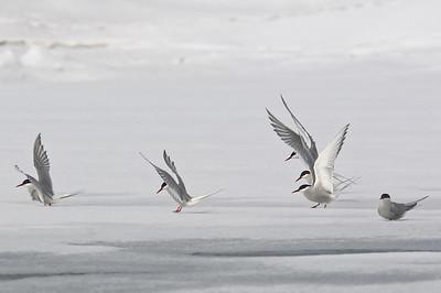Arctic terns posing on the sea ice.
