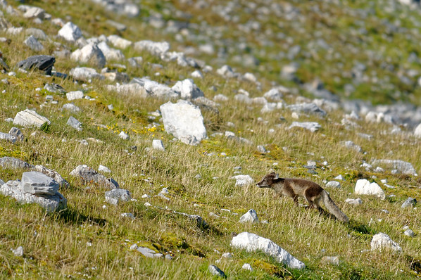 Arctic Fox in summer dress.