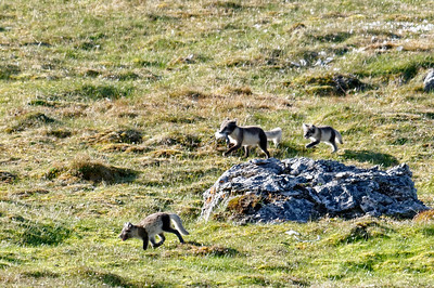 Arctic fox family.
