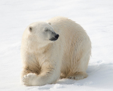 Namaste!   Who knew polar bears meditated.