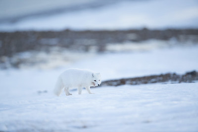 There are other creatures in the polar regions.  Unlike Iceland where most of the Arctic foxes are 'blue morphs,' in Svalbard they wear winter white.