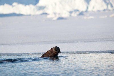 Walruses too love the Arctic