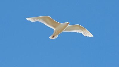 Glaucous Gull -  Vega Gull - Sabine's Gull - Kittiwake - Arctic Tern - Arctic Skua