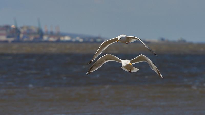 Vega Gulls, Anadyr in background