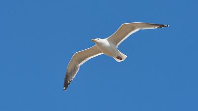 Vega Gull - Larus vegae. Anadyr, Chukotka, Russia, Siberia Birding