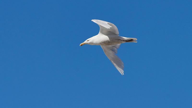 Glaucous Gull -  Larus hyperboreus. Anadyr, Chukotka, Russia, Siberia Birding