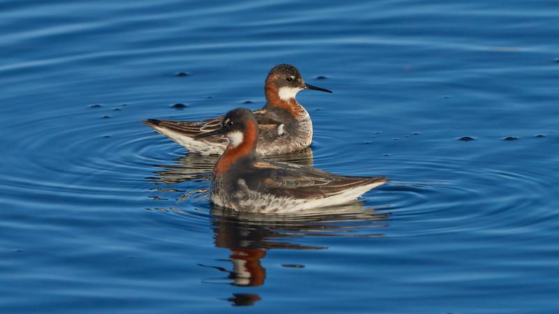 Red-necked Phalarope, pair