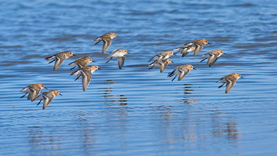 Red-necked Stints and Little Stints