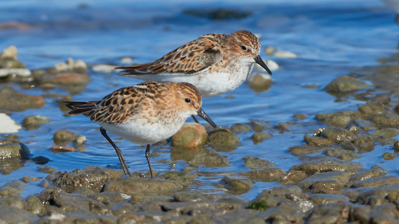 Little Stint and Red-necked Stint (in the back)