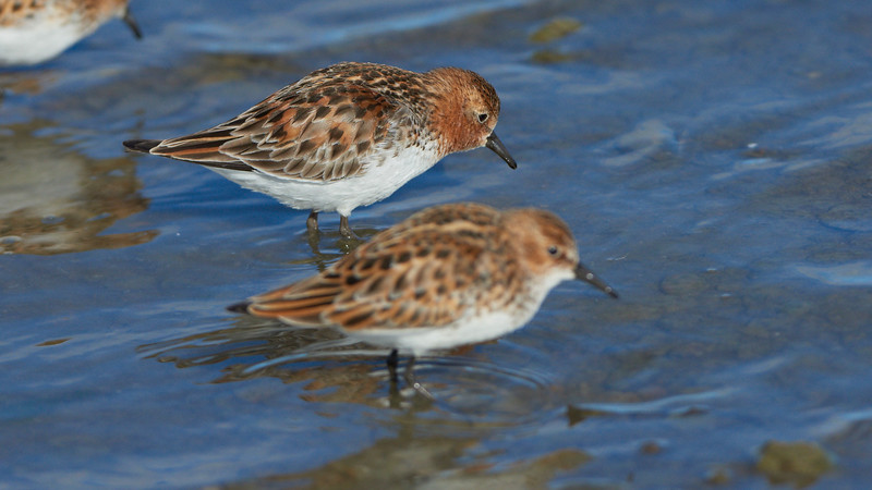Red-necked Stint (and Little Stint in front)