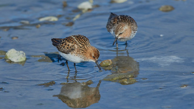 Little Stint (and Red-nacked Stint behind)