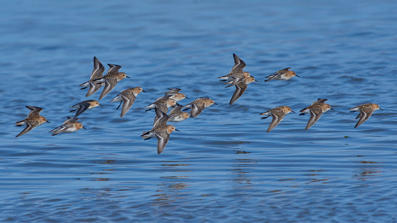 Red-necked Stints and Little Stints - almost 50-50%