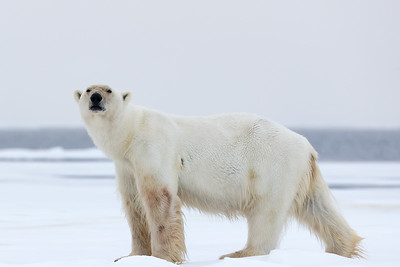 Of course many people come to the Arctic in hopes of seeing the polar bears