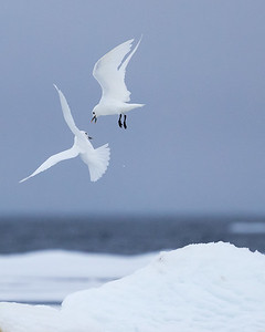 ivory gulls are rarely seen outside of the Arctic but here there are many following the bears to share their seal kills