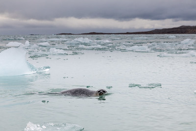But most of the time they are content to stay back a bit allowing us to see clearly why they are called ringed seals