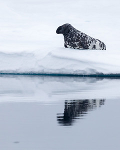 The hooded seal is another unusual creature rarely seen outside the Arctic and not commonly seen even there