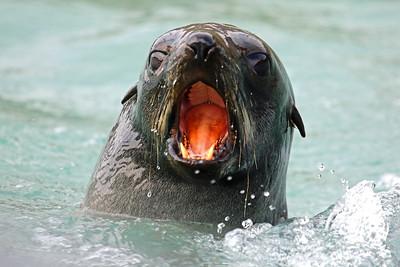 Fortuna Bay - Seal close to the zodiac