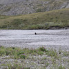 A wolf trots across the shallow center part of the river.
