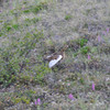 Rock ptarmigan in its summer colors. In the winter they turn a snowy white.