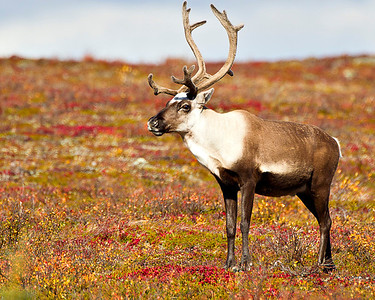They look especially good against the multicolored background of the fall tundra.