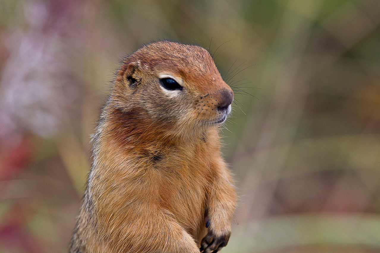 Arctic ground squirrel checking out the tourists