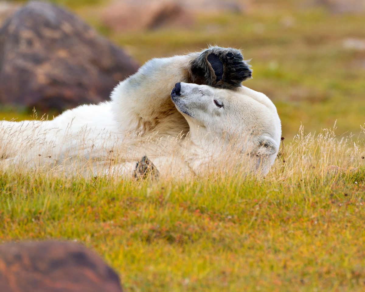 Yes I know you really came here to see Polar bears.  Just a minute please, I'm resting.