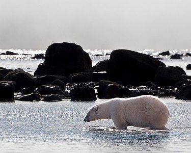 It is cold in this water, but this is where things to eat turn up.  I'm looking for beluga whale, or seal, or.....
