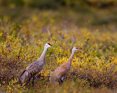 Adult and juvenile sand hill cranes.