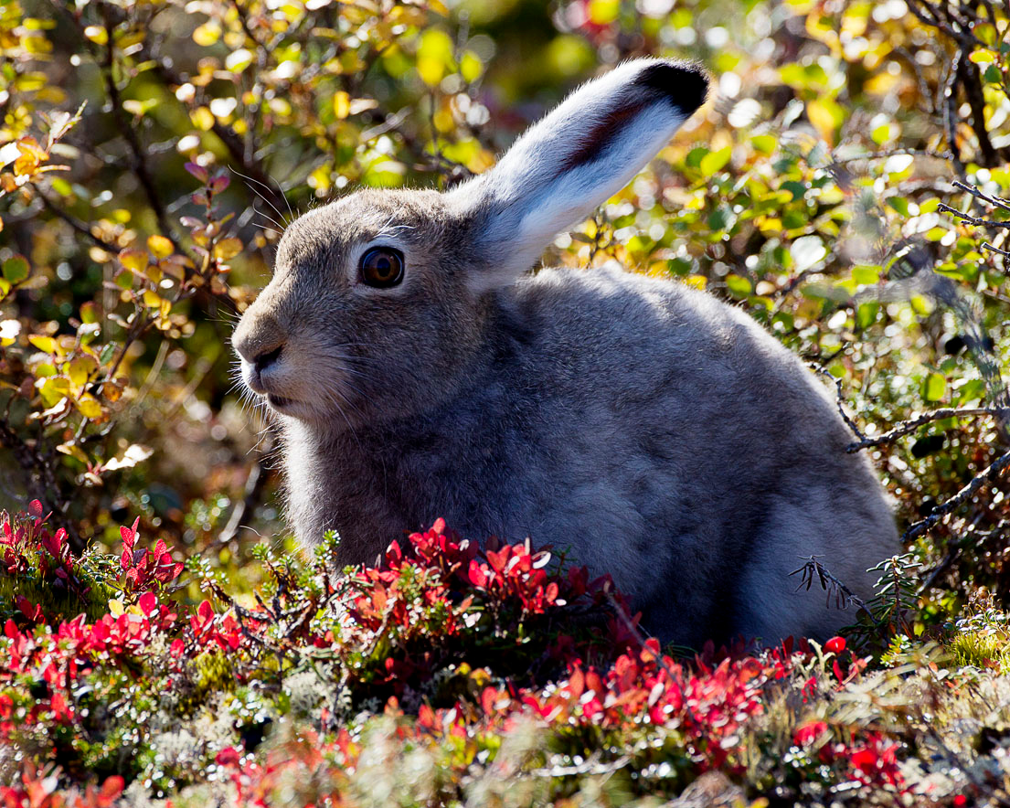 Arctic hare in the brush.