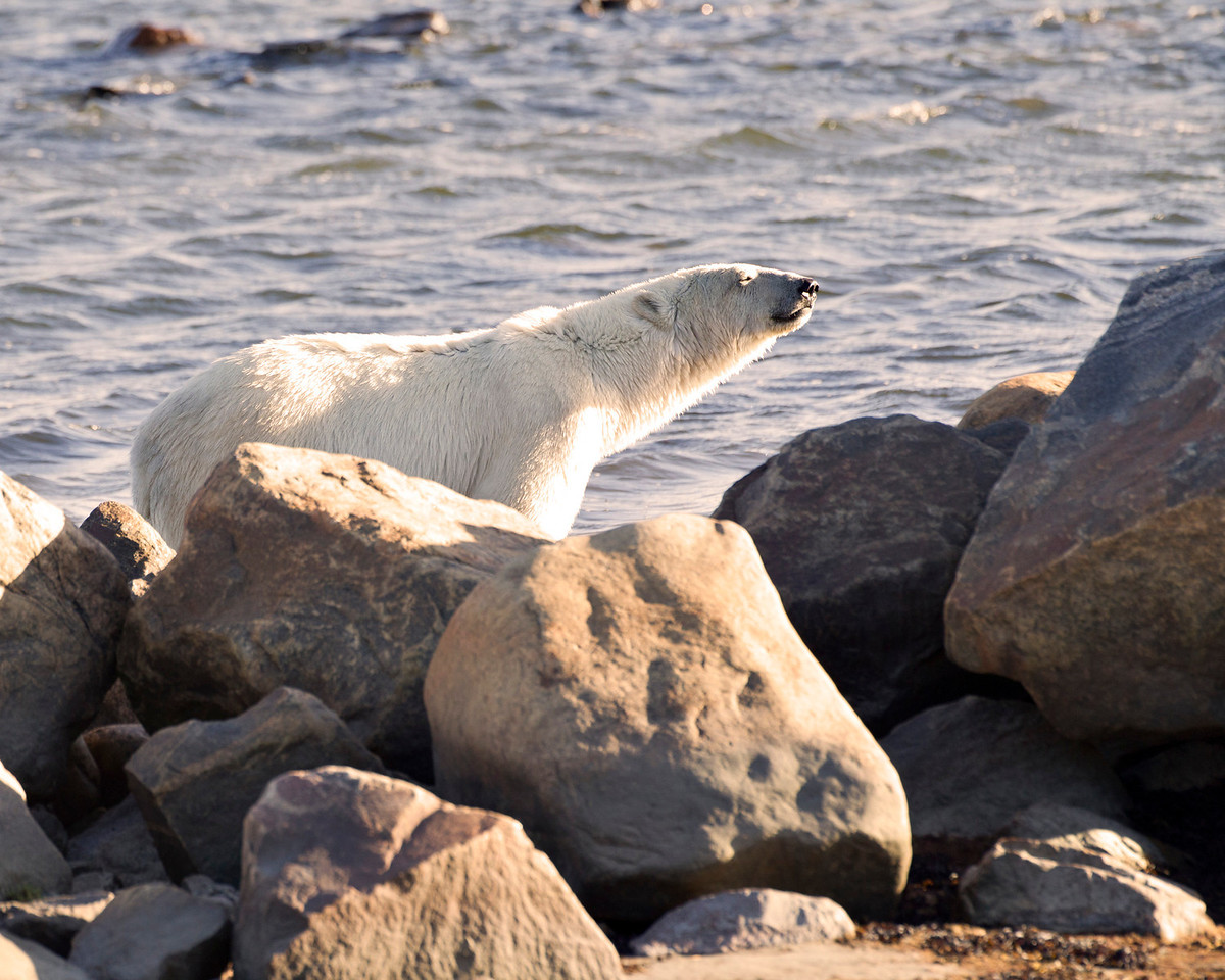 Hey don't forget us polar bears we're still here watching over things in the setting sun